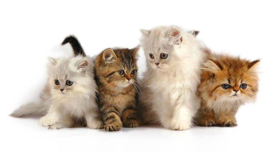 Asas Penjagaan Kucing Parsi